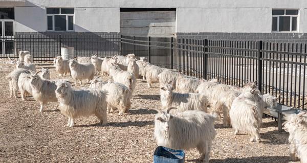 赤峰昭乌达羊绒培育山羊