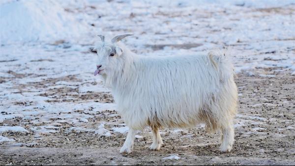 品牌方在选择羊绒衫厂家时要不要问他们选择山羊的养殖地是哪里?