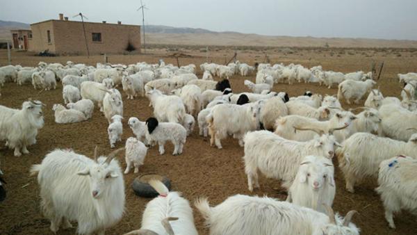 赤峰昭乌达羊绒:一件好的羊绒衫,从山羊育种开始