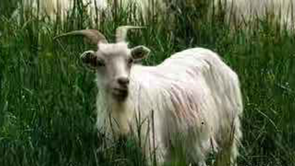内蒙古羊绒衫生产厂家所选山羊