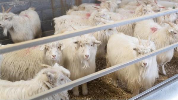 羊绒衫厂家更青睐哪里的山羊绒原料呢?品牌方要了解