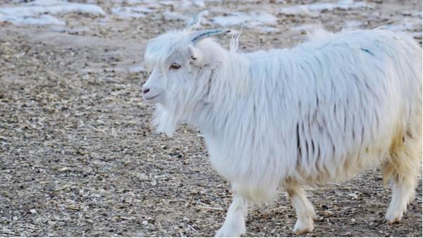 品牌方要了解,哪里的山羊绒原料更被好的羊绒衫厂家青睐呢?