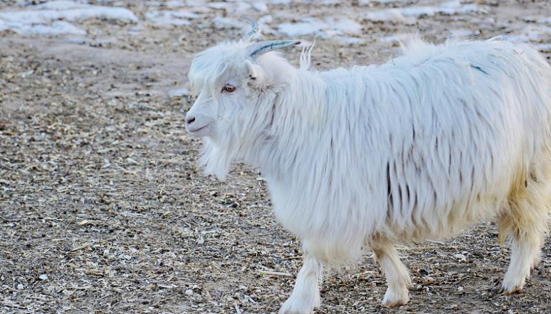 羊绒衫厂家养殖山羊
