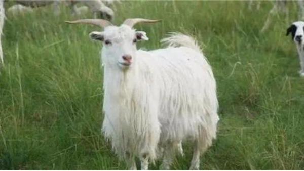 赤峰昭乌达羊绒山羊