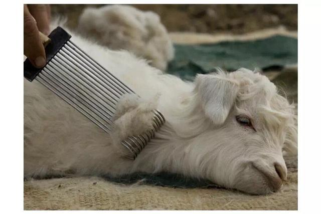 羊绒衫厂家采集羊绒