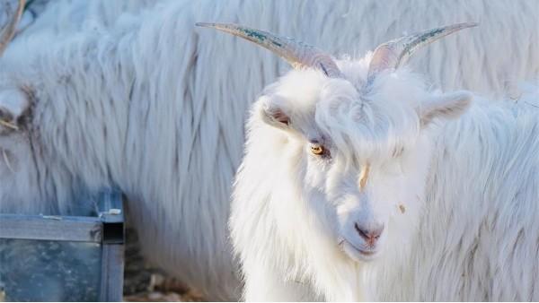 羊绒衫厂家所谓使用的头道绒加工的羊绒衫为什么很贵?