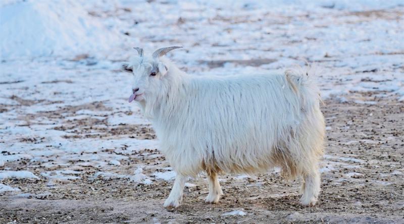 昭乌达羊绒培育的山羊