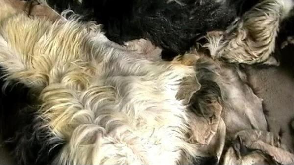 无良羊绒衫厂家在羊绒衫加工时掺入的皮褪绒是什么?